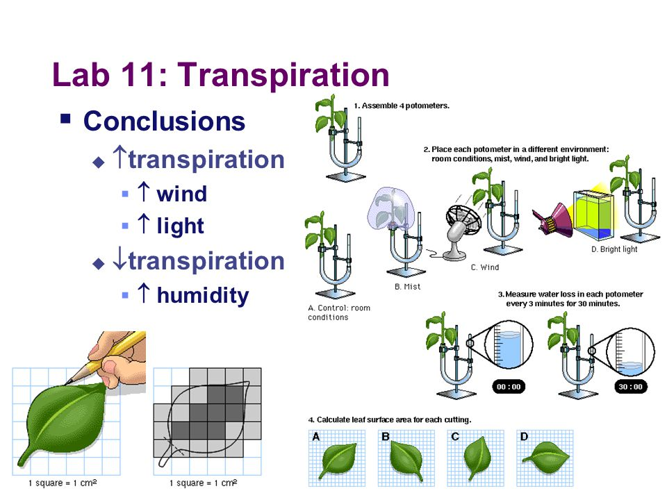 Lab 11: Transpiration  Concepts  transpiration  stomates  guard cells  xylem  adhesion  Cohesion  Cohesion-Tension Model  H bonding