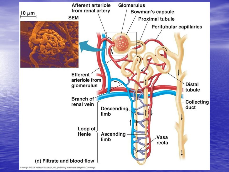What Happens in the Nephron.