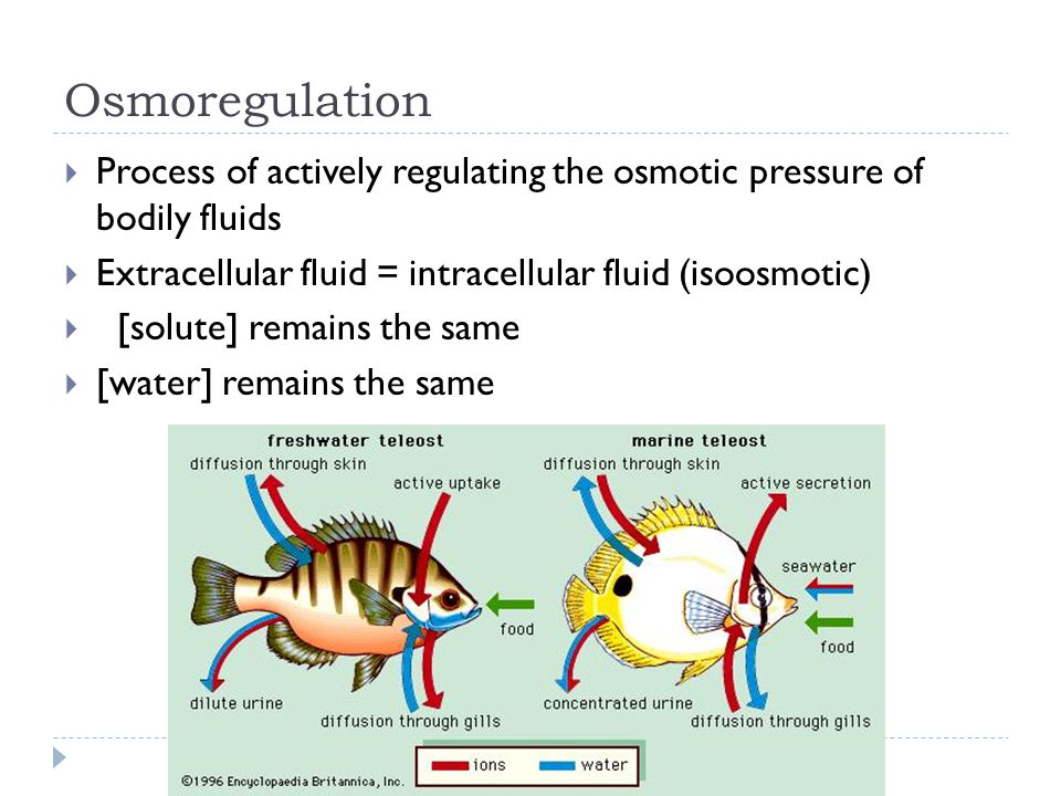 Osmoregulation  Process of actively regulating the osmotic pressure of bodily fluids  Extracellular fluid = intracellular fluid (isoosmotic)  [solute] remains the same  [water] remains the same