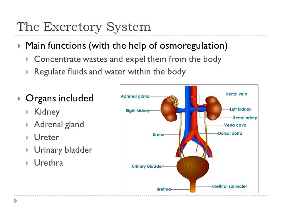 The Excretory System  Main functions (with the help of osmoregulation)  Concentrate wastes and expel them from the body  Regulate fluids and water within the body  Organs included  Kidney  Adrenal gland  Ureter  Urinary bladder  Urethra