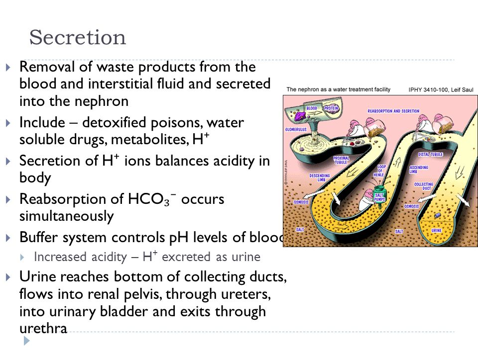 Secretion  Removal of waste products from the blood and interstitial fluid and secreted into the nephron  Include – detoxified poisons, water soluble drugs, metabolites, H ⁺  Secretion of H ⁺ ions balances acidity in body  Reabsorption of HCO ₃⁻ occurs simultaneously  Buffer system controls pH levels of blood  Increased acidity – H ⁺ excreted as urine  Urine reaches bottom of collecting ducts, flows into renal pelvis, through ureters, into urinary bladder and exits through urethra