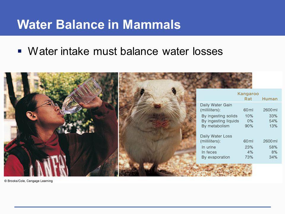 Water Balance in Mammals  Water intake must balance water losses
