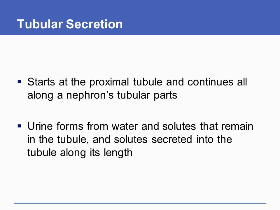 Tubular Secretion  Starts at the proximal tubule and continues all along a nephron's tubular parts  Urine forms from water and solutes that remain in the tubule, and solutes secreted into the tubule along its length