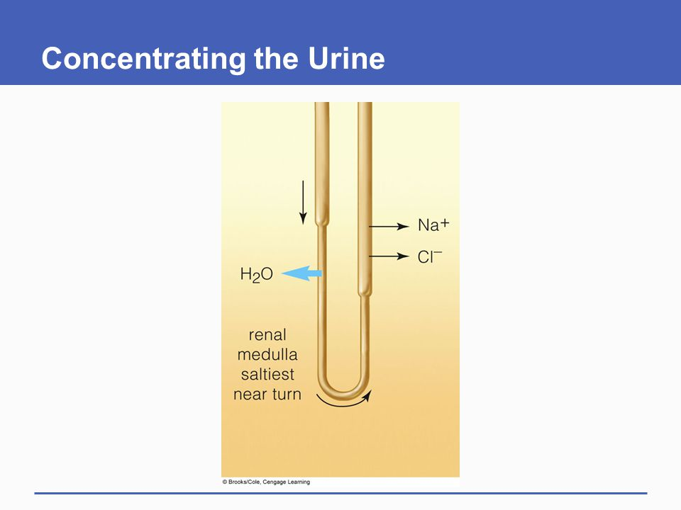 Concentrating the Urine