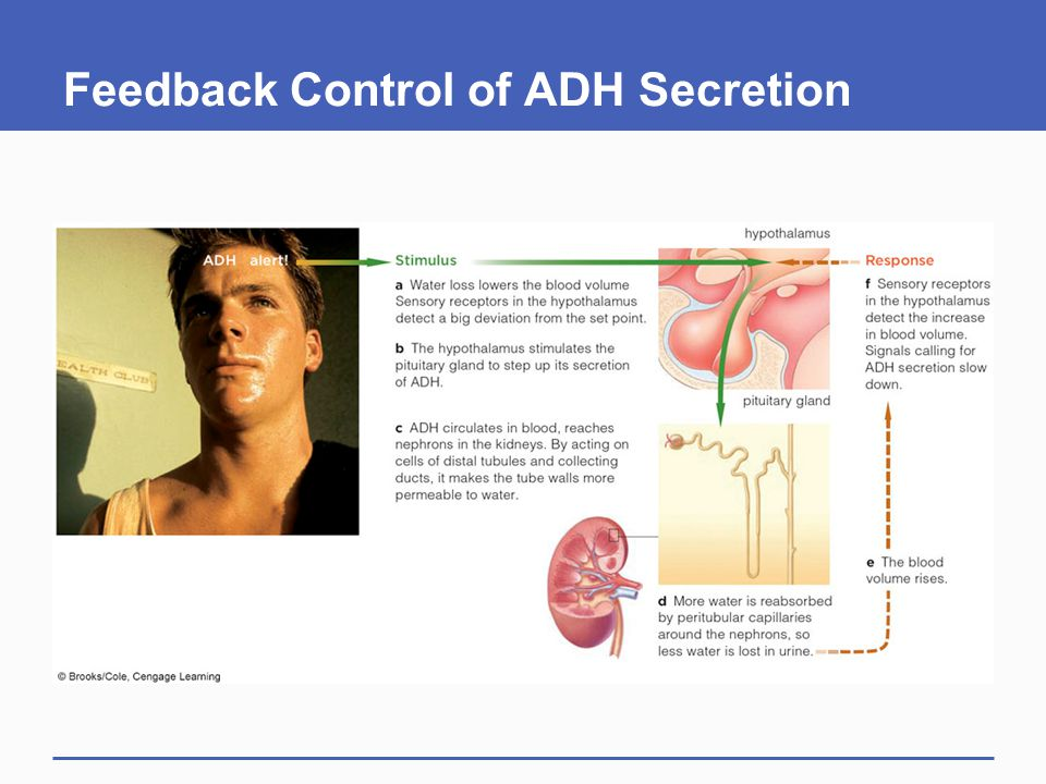 Feedback Control of ADH Secretion