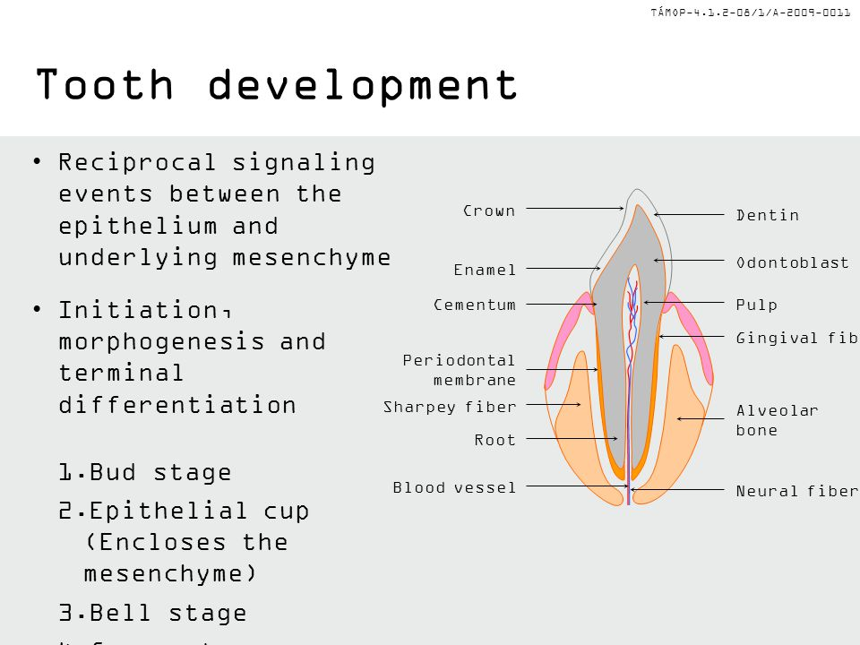TÁMOP-4.1.2-08/1/A-2009-0011 Tooth development Reciprocal signaling events between the epithelium and underlying mesenchyme Initiation, morphogenesis and terminal differentiation 1.Bud stage 2.Epithelial cup (Encloses the mesenchyme) 3.Bell stage 4.Crown stage Dentin Odontoblast Root Periodontal membrane Cementum Enamel Crown Blood vessel Sharpey fiber Gingival fiber Pulp Alveolar bone Neural fiber