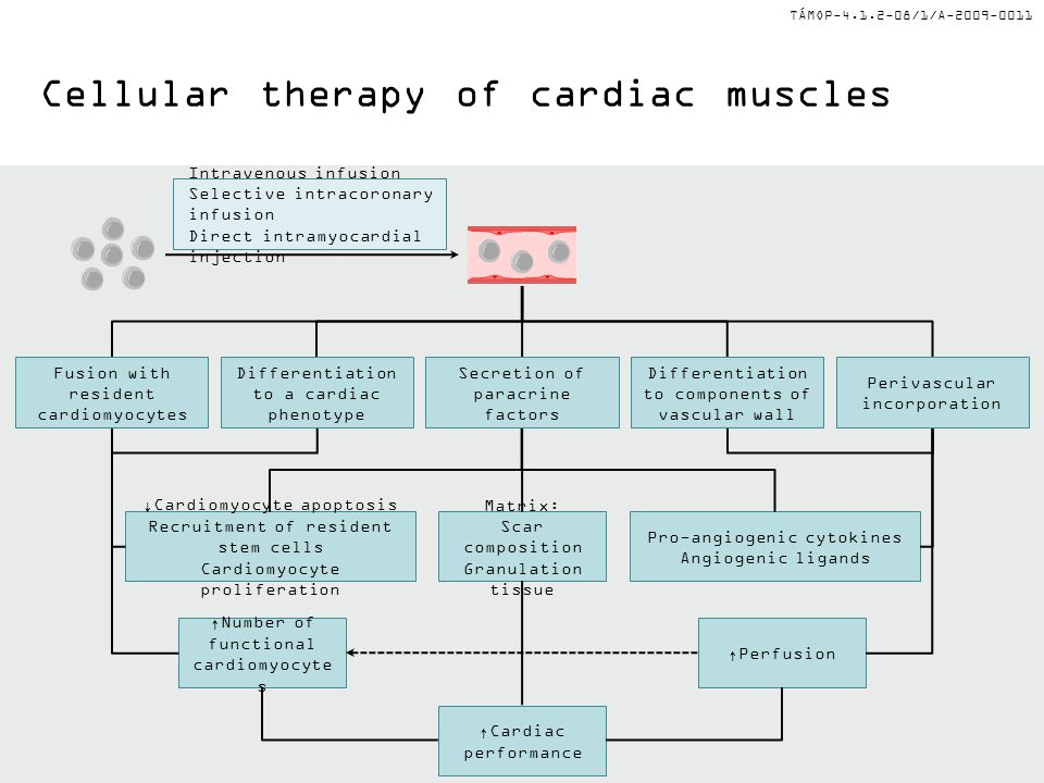 TÁMOP-4.1.2-08/1/A-2009-0011 Cellular therapy of cardiac muscles Intravenous infusion Selective intracoronary infusion Direct intramyocardial injection ↓Cardiomyocyte apoptosis Recruitment of resident stem cells Cardiomyocyte proliferation Matrix: Scar composition Granulation tissue Pro-angiogenic cytokines Angiogenic ligands ↑Cardiac performance ↑Number of functional cardiomyocyte s ↑Perfusion Secretion of paracrine factors Differentiation to components of vascular wall Differentiation to a cardiac phenotype Fusion with resident cardiomyocytes Perivascular incorporation