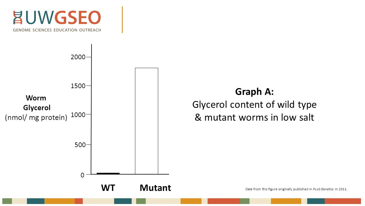 Worm Glycerol (nmol/ mg protein) WT Mutant 2000 1500 1000 500 0 Graph A: Glycerol content of wild type & mutant worms in low salt Data from this figure originally published in PLoS Genetics in 2011.