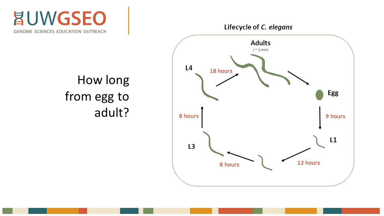 55 hours = 2 days + 7 hours Adults ( ~ 1 mm) Egg L1 L3 L4 9 hours 12 hours 8 hours 18 hours Lifecycle of C.