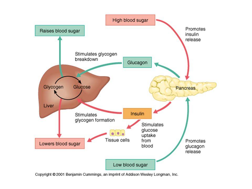 Insulin Functions