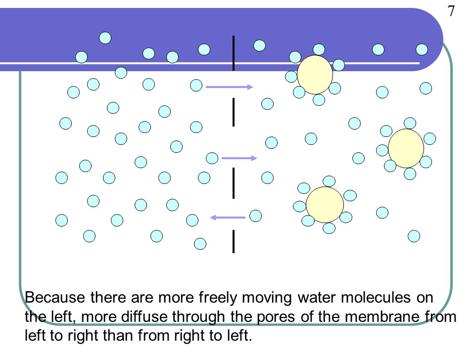 Because there are more freely moving water molecules on the left, more diffuse through the pores of the membrane from left to right than from right to left.
