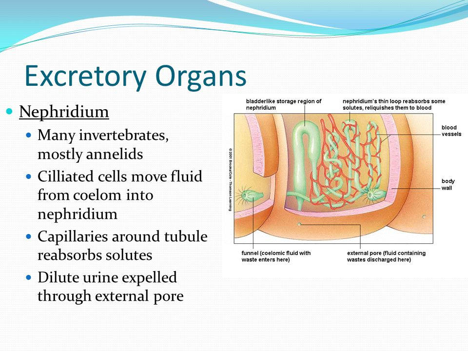 Excretory Organs Nephridium Many invertebrates, mostly annelids Cilliated cells move fluid from coelom into nephridium Capillaries around tubule reabsorbs solutes Dilute urine expelled through external pore