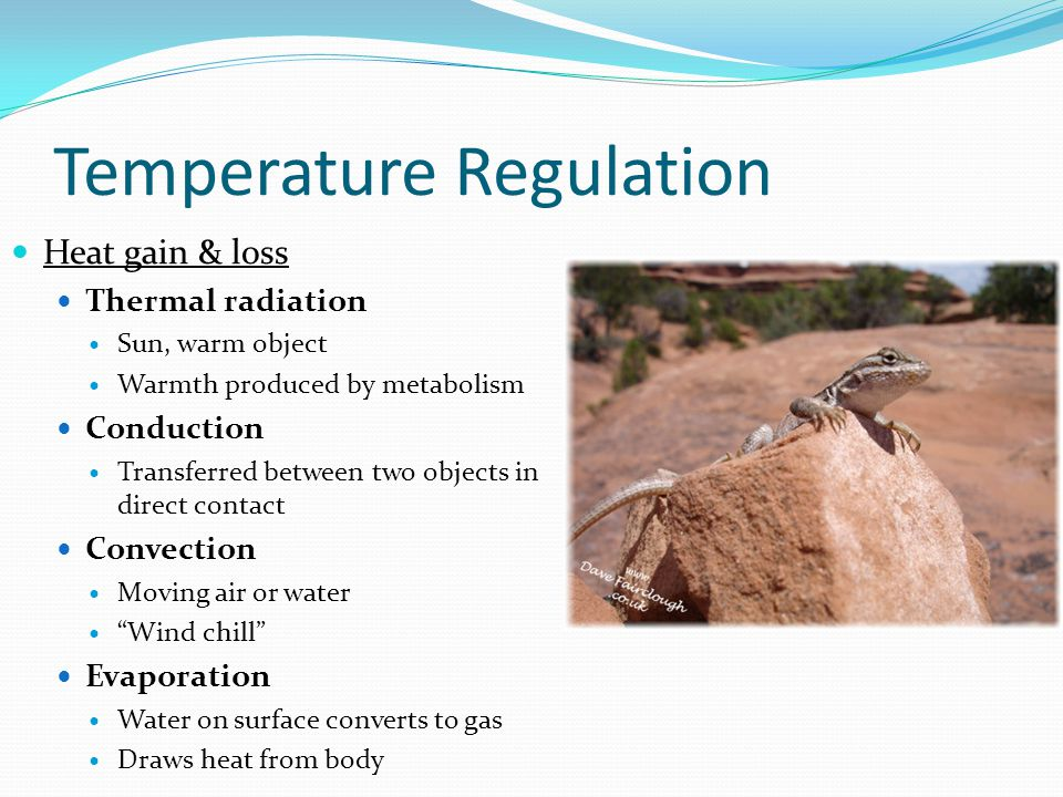 Temperature Regulation Heat gain & loss Thermal radiation Sun, warm object Warmth produced by metabolism Conduction Transferred between two objects in direct contact Convection Moving air or water Wind chill Evaporation Water on surface converts to gas Draws heat from body