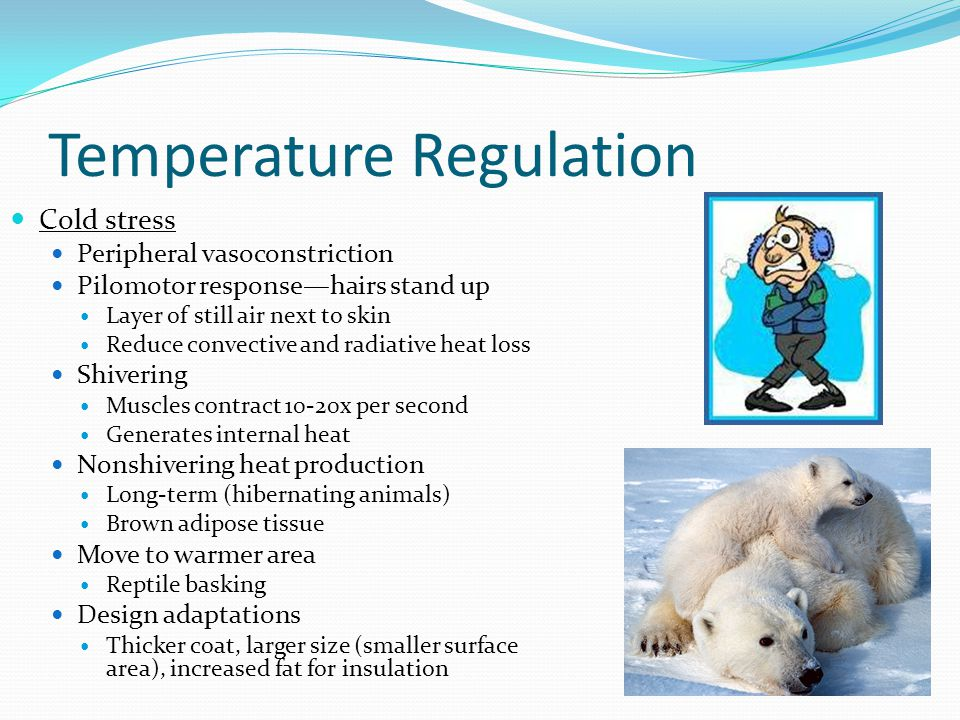 Temperature Regulation Cold stress Peripheral vasoconstriction Pilomotor response—hairs stand up Layer of still air next to skin Reduce convective and radiative heat loss Shivering Muscles contract 10-20x per second Generates internal heat Nonshivering heat production Long-term (hibernating animals) Brown adipose tissue Move to warmer area Reptile basking Design adaptations Thicker coat, larger size (smaller surface area), increased fat for insulation