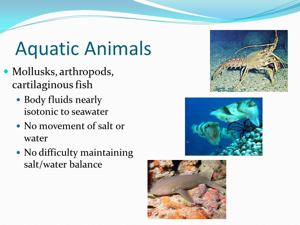Aquatic Animals Mollusks, arthropods, cartilaginous fish Body fluids nearly isotonic to seawater No movement of salt or water No difficulty maintaining salt/water balance