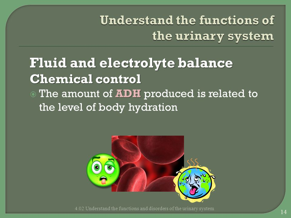 Fluid and electrolyte balance Chemical control ADH  The amount of ADH produced is related to the level of body hydration 4.02 Understand the function