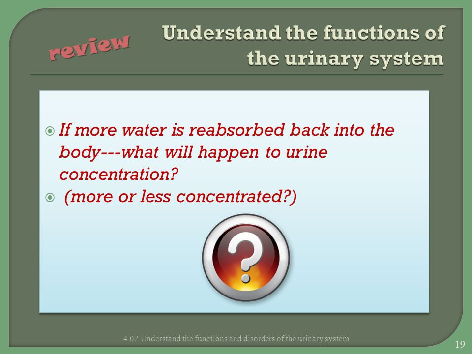  If more water is reabsorbed back into the body---what will happen to urine concentration?  (more or less concentrated?)  If more water is reabsorb