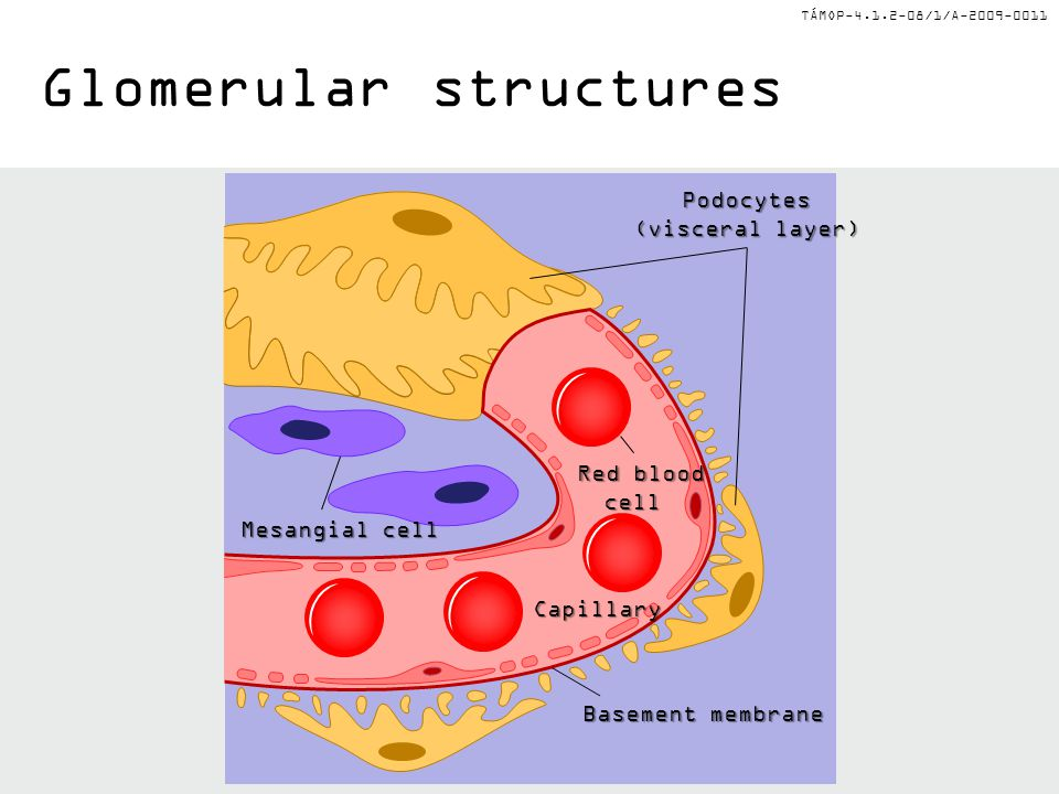 TÁMOP-4.1.2-08/1/A-2009-0011 Glomerular structures: filter surface Podocyte (epithelial cell with foot processes) Mesangialcell Red blood cell Endothelialcell Capillary lumen Foot processes Basement membrane Red blood cell Capillary lumen Bowman's space Fenestrations
