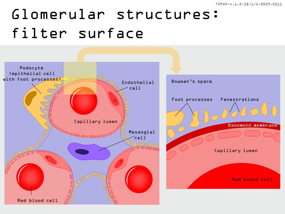 TÁMOP-4.1.2-08/1/A-2009-0011 Glomerular structures: filter surface Podocyte (epithelial cell with foot processes) Mesangialcell Red blood cell Endothe