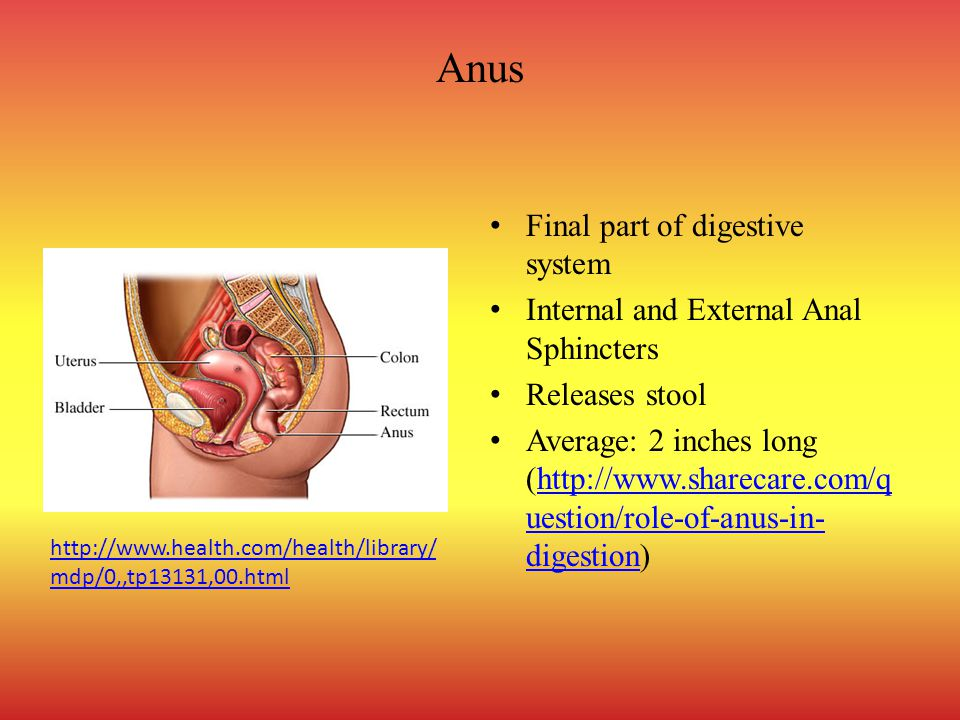 Anus Final part of digestive system Internal and External Anal Sphincters Releases stool Average: 2 inches long (http://www.sharecare.com/q uestion/role-of-anus-in- digestion)http://www.sharecare.com/q uestion/role-of-anus-in- digestion http://www.health.com/health/library/ mdp/0,,tp13131,00.html