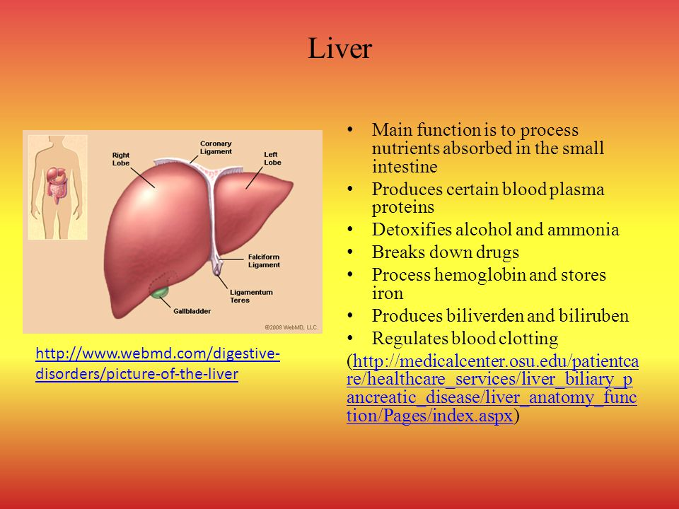 Liver Main function is to process nutrients absorbed in the small intestine Produces certain blood plasma proteins Detoxifies alcohol and ammonia Breaks down drugs Process hemoglobin and stores iron Produces biliverden and biliruben Regulates blood clotting (http://medicalcenter.osu.edu/patientca re/healthcare_services/liver_biliary_p ancreatic_disease/liver_anatomy_func tion/Pages/index.aspx)http://medicalcenter.osu.edu/patientca re/healthcare_services/liver_biliary_p ancreatic_disease/liver_anatomy_func tion/Pages/index.aspx http://www.webmd.com/digestive- disorders/picture-of-the-liver