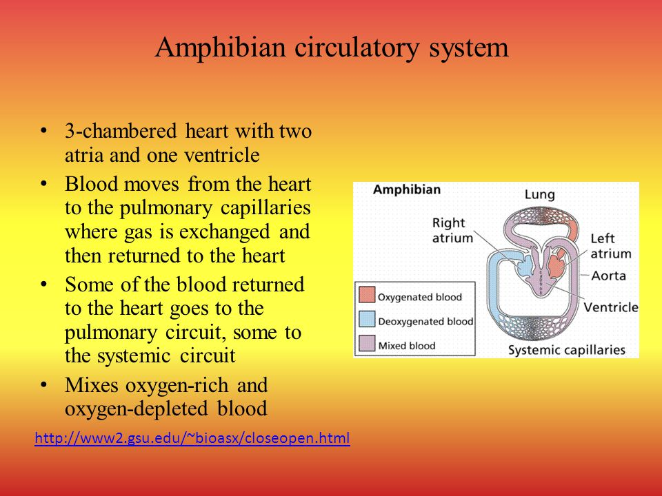 Amphibian circulatory system 3-chambered heart with two atria and one ventricle Blood moves from the heart to the pulmonary capillaries where gas is exchanged and then returned to the heart Some of the blood returned to the heart goes to the pulmonary circuit, some to the systemic circuit Mixes oxygen-rich and oxygen-depleted blood http://www2.gsu.edu/~bioasx/closeopen.html