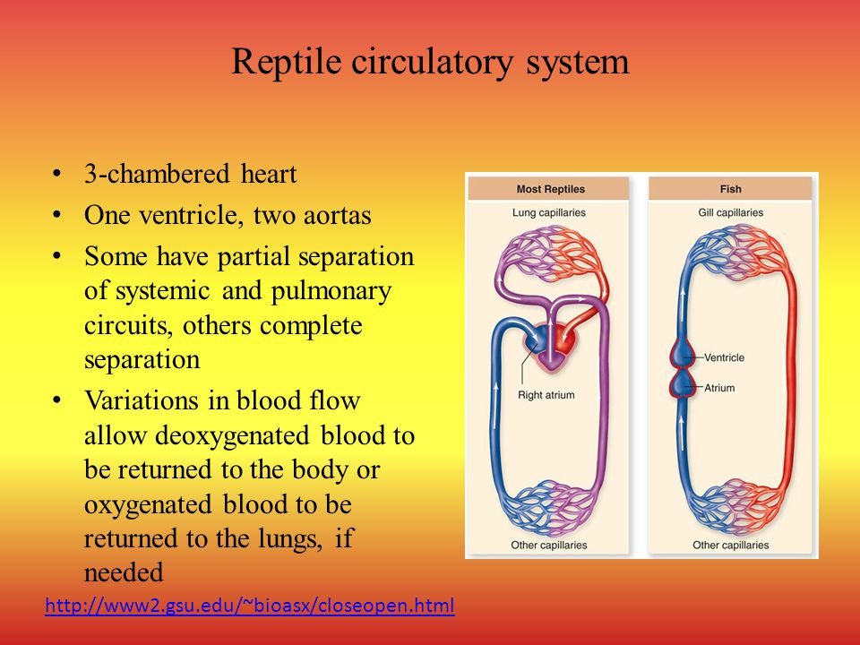 Reptile circulatory system 3-chambered heart One ventricle, two aortas Some have partial separation of systemic and pulmonary circuits, others complete separation Variations in blood flow allow deoxygenated blood to be returned to the body or oxygenated blood to be returned to the lungs, if needed http://www2.gsu.edu/~bioasx/closeopen.html