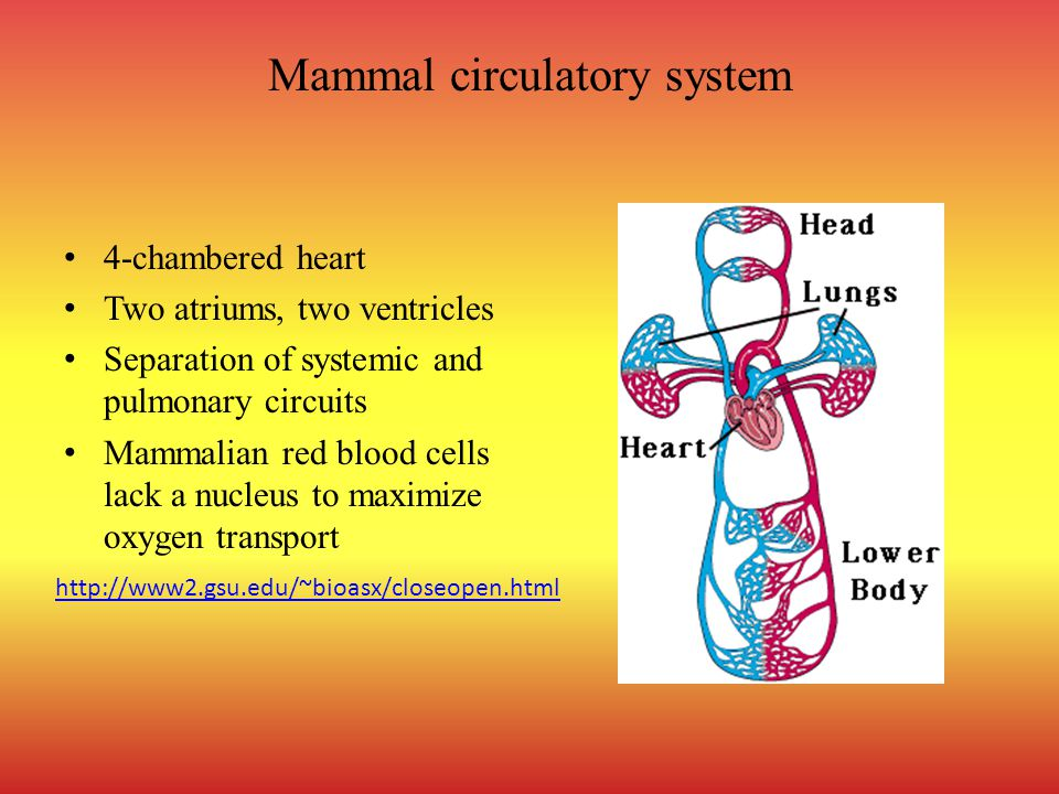 Mammal circulatory system 4-chambered heart Two atriums, two ventricles Separation of systemic and pulmonary circuits Mammalian red blood cells lack a