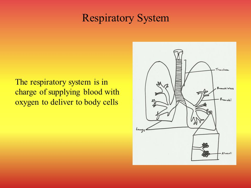 Respiratory System The respiratory system is in charge of supplying blood with oxygen to deliver to body cells