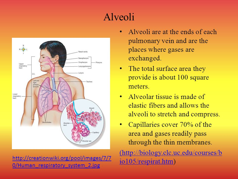 Alveoli Alveoli are at the ends of each pulmonary vein and are the places where gases are exchanged. The total surface area they provide is about 100