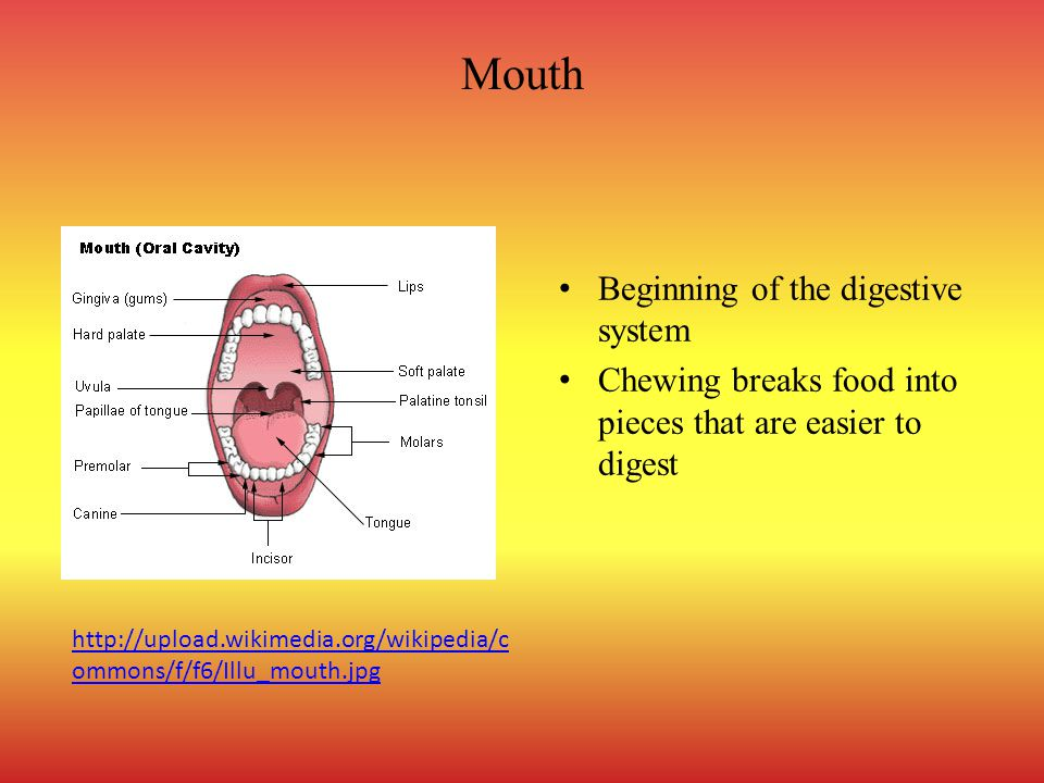 Mouth Beginning of the digestive system Chewing breaks food into pieces that are easier to digest http://upload.wikimedia.org/wikipedia/c ommons/f/f6/Illu_mouth.jpg