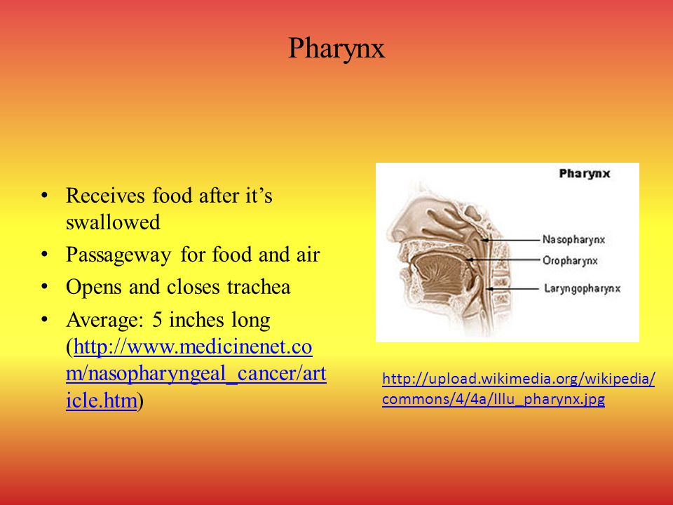 Pharynx Receives food after it's swallowed Passageway for food and air Opens and closes trachea Average: 5 inches long (http://www.medicinenet.co m/nasopharyngeal_cancer/art icle.htm)http://www.medicinenet.co m/nasopharyngeal_cancer/art icle.htm http://upload.wikimedia.org/wikipedia/ commons/4/4a/Illu_pharynx.jpg