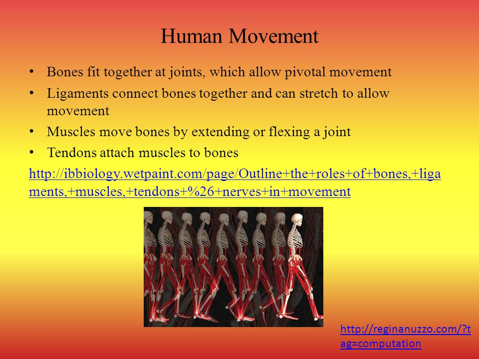 Human Movement Bones fit together at joints, which allow pivotal movement Ligaments connect bones together and can stretch to allow movement Muscles move bones by extending or flexing a joint Tendons attach muscles to bones http://ibbiology.wetpaint.com/page/Outline+the+roles+of+bones,+liga ments,+muscles,+tendons+%26+nerves+in+movement http://reginanuzzo.com/?t ag=computation