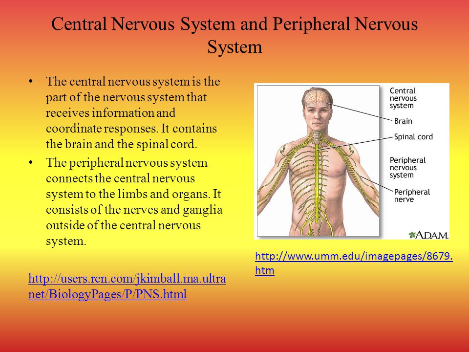 Central Nervous System and Peripheral Nervous System The central nervous system is the part of the nervous system that receives information and coordinate responses.