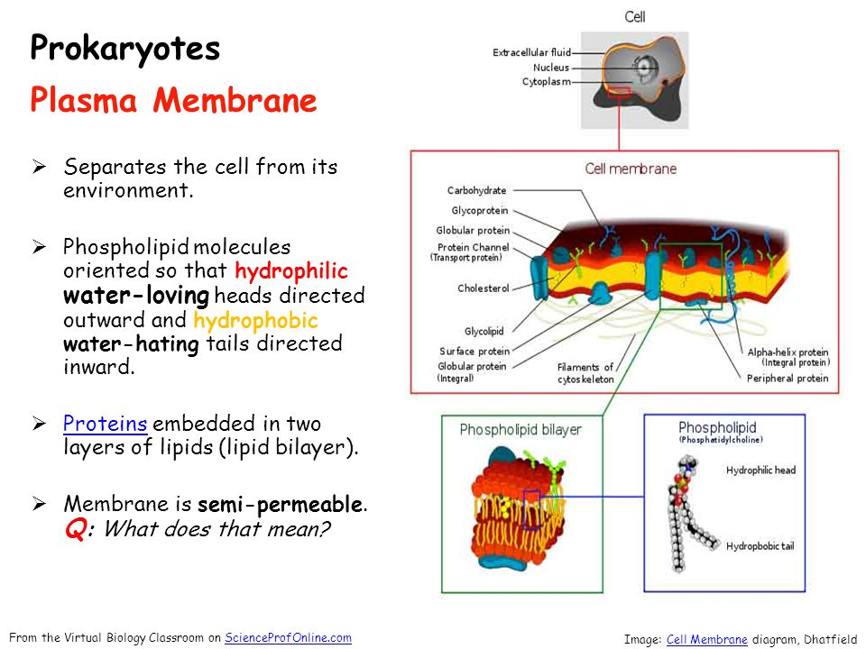 Passive Transport Primary function of plasma membrane → regulate movement of molecules entering or leaving cell.