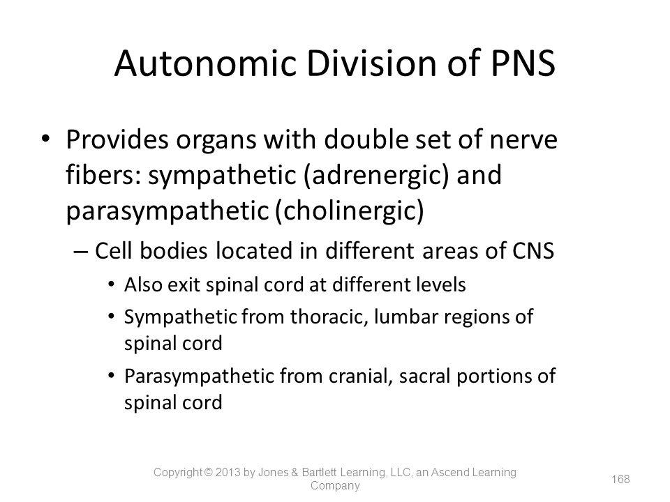 Autonomic Division of PNS Provides organs with double set of nerve fibers: sympathetic (adrenergic) and parasympathetic (cholinergic) – Cell bodies lo