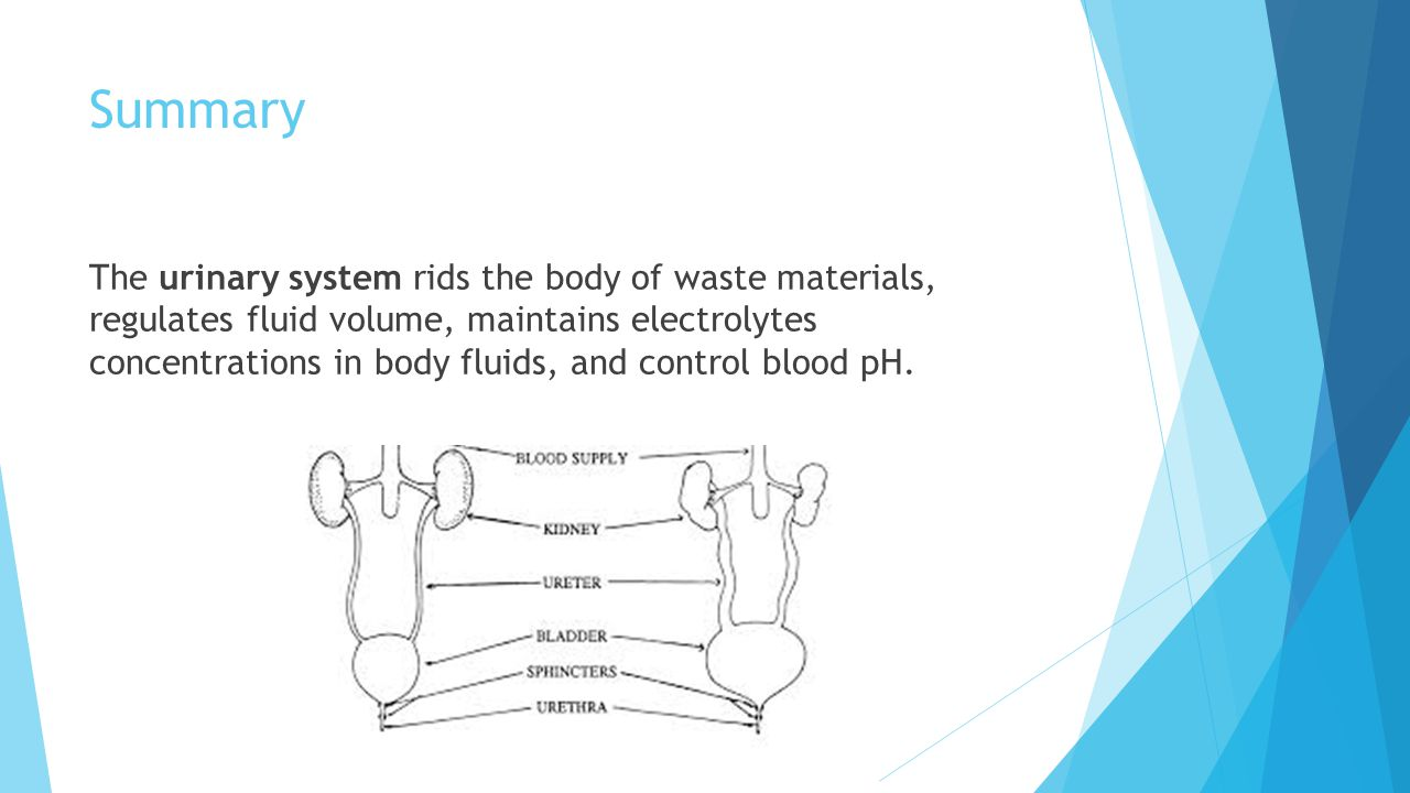 Summary The urinary system rids the body of waste materials, regulates fluid volume, maintains electrolytes concentrations in body fluids, and control blood pH.