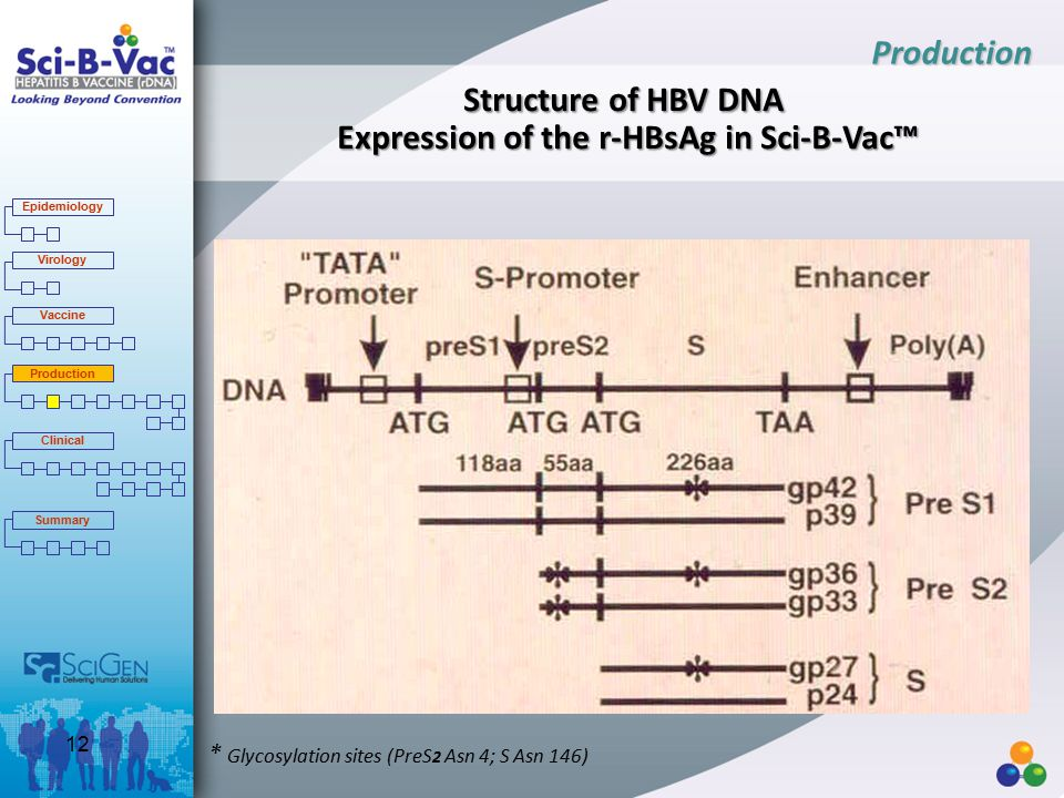 Structure of HBV DNA Expression of the r-HBsAg in Sci-B-Vac™ * Glycosylation sites (PreS 2 Asn 4; S Asn 146) Production Epidemiology Virology Vaccine Production Clinical Summary 12
