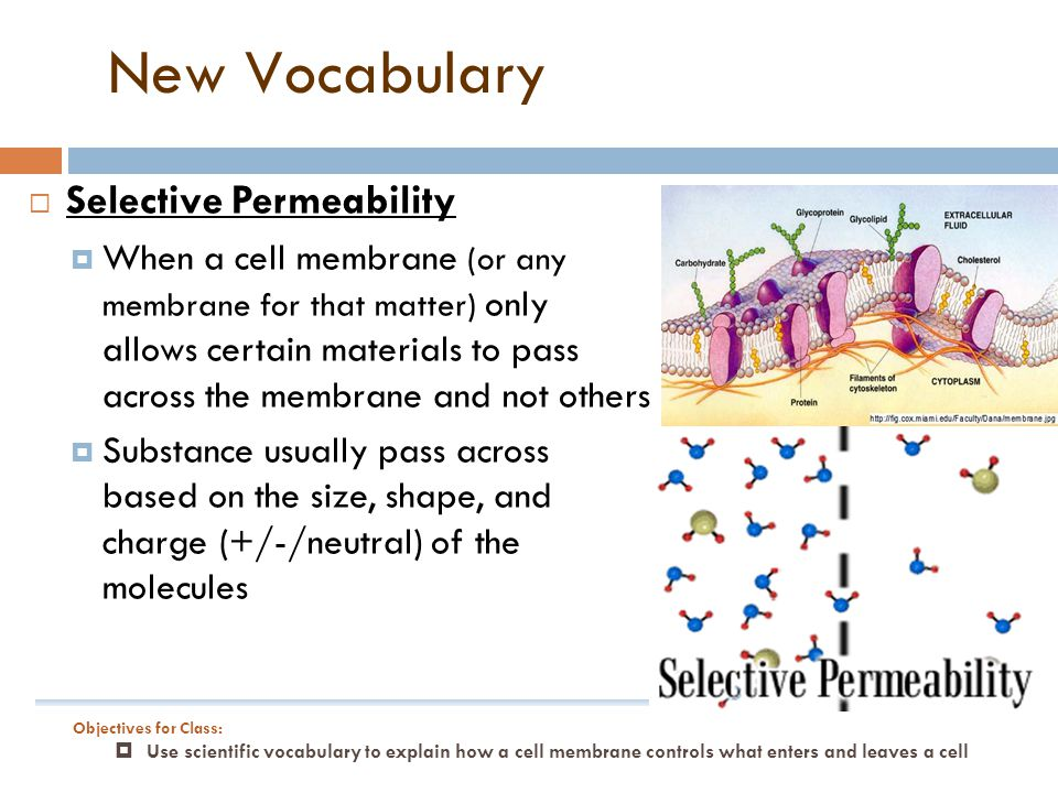  Selective Permeability  When a cell membrane (or any membrane for that matter) only allows certain materials to pass across the membrane and not others  Substance usually pass across based on the size, shape, and charge (+/-/neutral) of the molecules New Vocabulary Objectives for Class:  Use scientific vocabulary to explain how a cell membrane controls what enters and leaves a cell