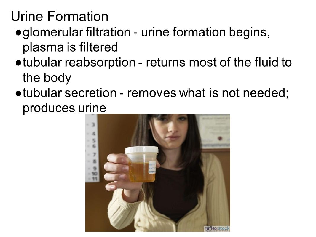Urine Formation ●glomerular filtration - urine formation begins, plasma is filtered ●tubular reabsorption - returns most of the fluid to the body ●tubular secretion - removes what is not needed; produces urine