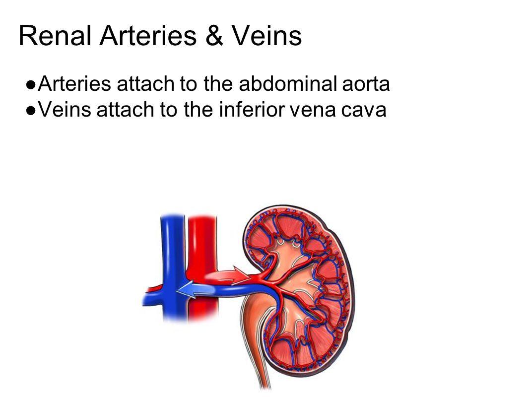 Renal Arteries & Veins ●Arteries attach to the abdominal aorta ●Veins attach to the inferior vena cava