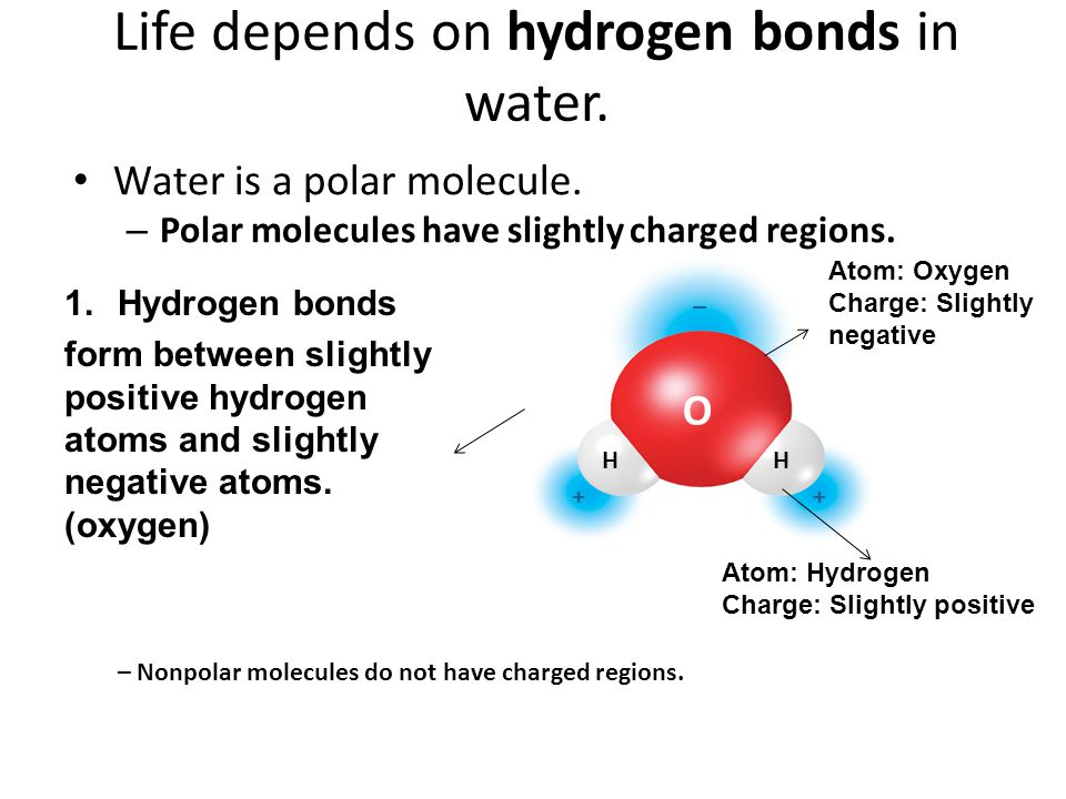 O HH _ ++ Life depends on hydrogen bonds in water. Water is a polar molecule. – Polar molecules have slightly charged regions. – Nonpolar molecules do