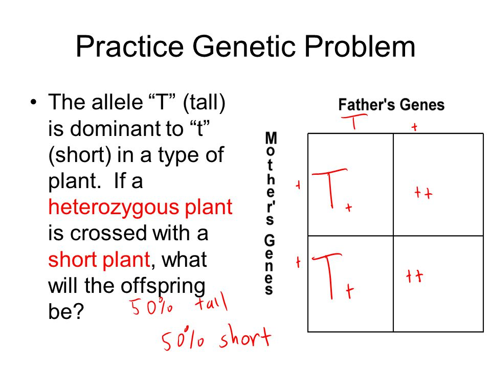 "Practice Genetic Problem The allele ""T"" (tall) is dominant to ""t"" (short) in a type of plant. If a heterozygous plant is crossed with a short plant, w"