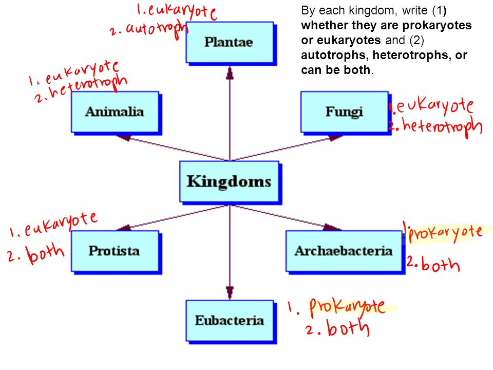 By each kingdom, write (1) whether they are prokaryotes or eukaryotes and (2) autotrophs, heterotrophs, or can be both.
