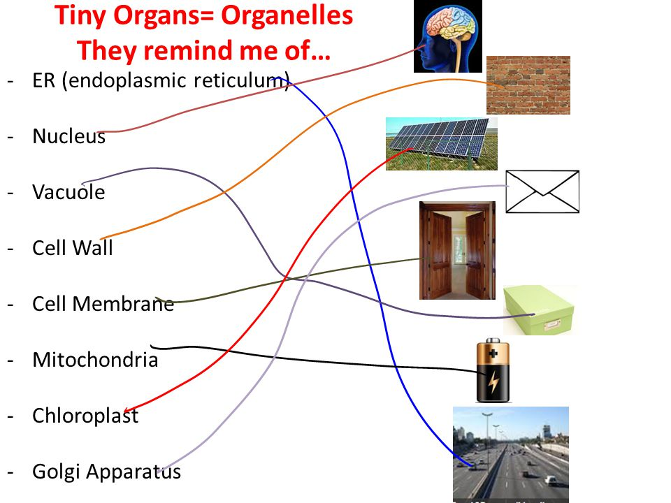 Tiny Organs= Organelles They remind me of… -ER (endoplasmic reticulum) -Nucleus -Vacuole -Cell Wall -Cell Membrane -Mitochondria -Chloroplast -Golgi A