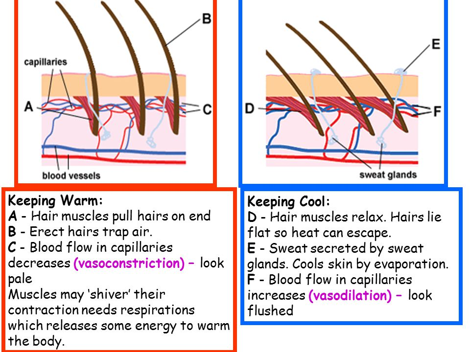 Keeping Warm: A - Hair muscles pull hairs on end B - Erect hairs trap air. C - Blood flow in capillaries decreases (vasoconstriction) – look pale Musc