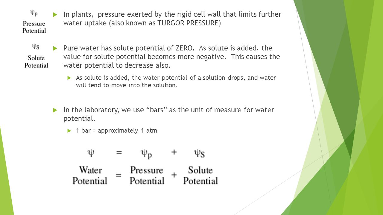  In plants, pressure exerted by the rigid cell wall that limits further water uptake (also known as TURGOR PRESSURE)  Pure water has solute potential of ZERO.
