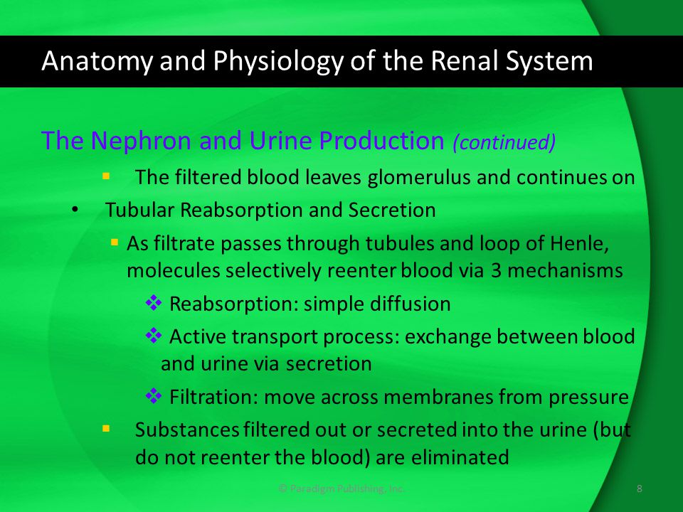 Anatomy and Physiology of the Renal System The Nephron and Urine Production (continued)  The filtered blood leaves glomerulus and continues on Tubula