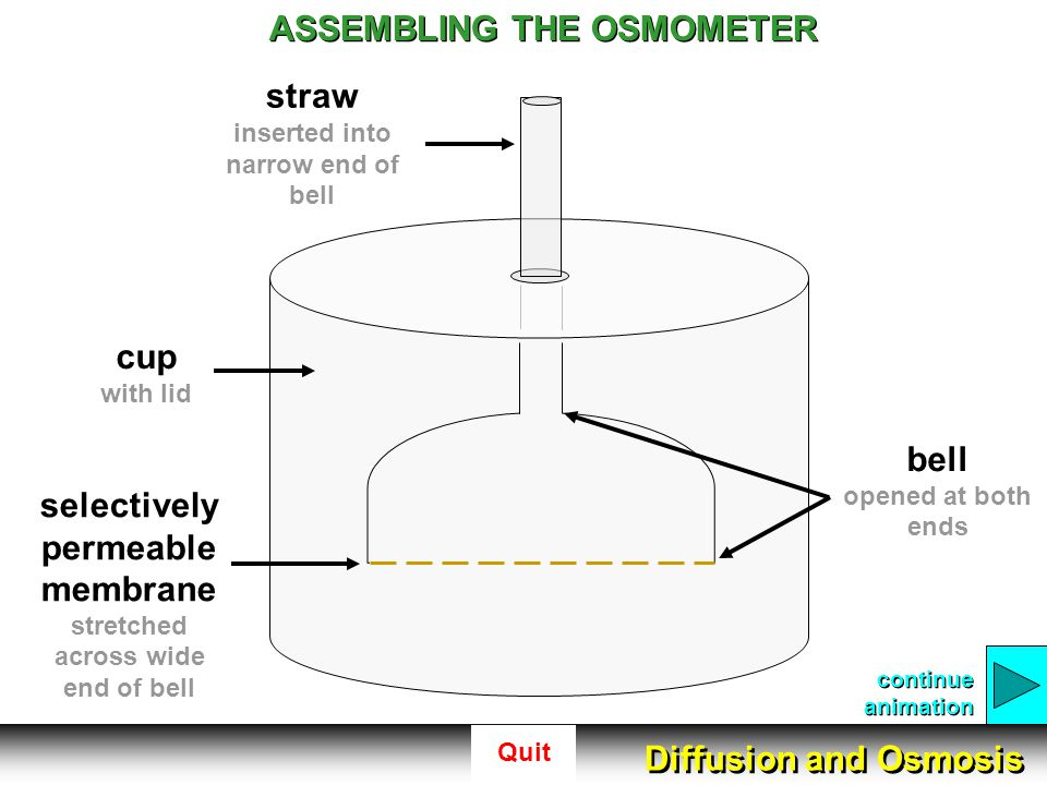 Quit ASSEMBLING THE OSMOMETER cup with lid straw inserted into narrow end of bell bell opened at both ends selectively permeable membrane stretched ac