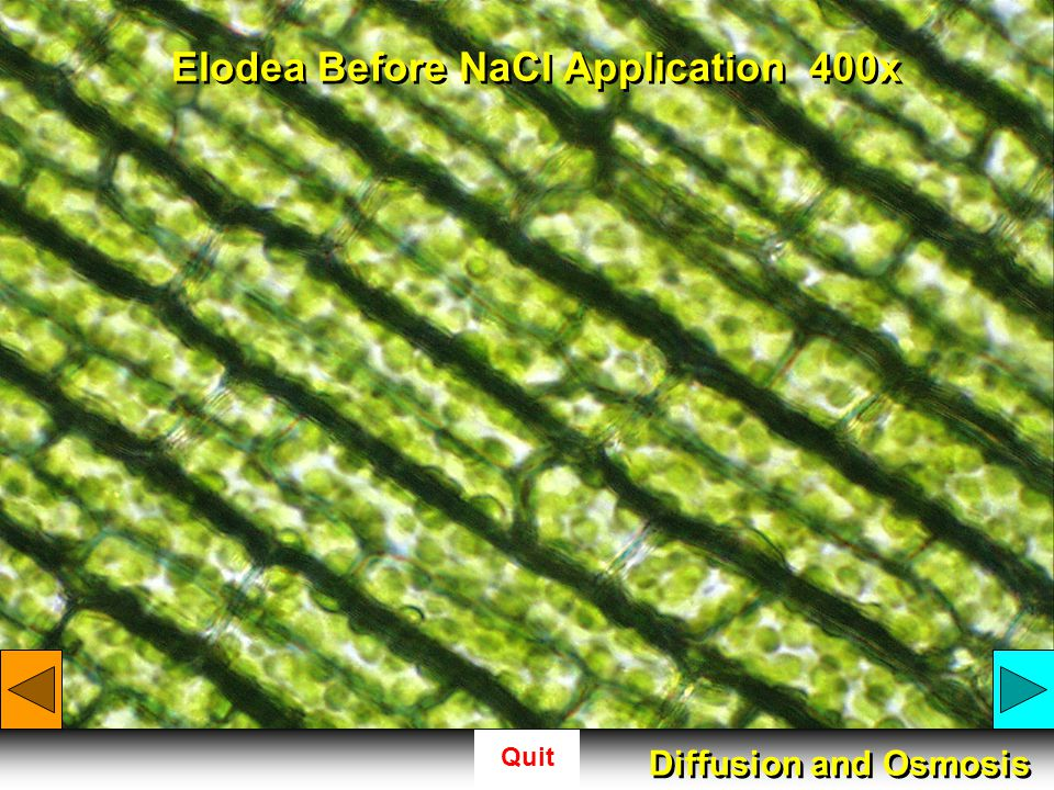 Quit Elodea Before NaCl Application 400x Diffusion and Osmosis